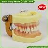Standard dental study model